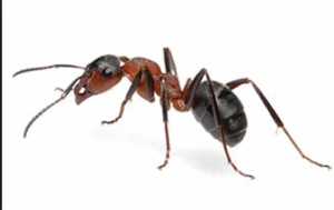 Fire Ant Control san antonio