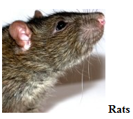 Rodent control San Antonio - Pest control