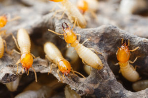 termite inspection and control san antonio