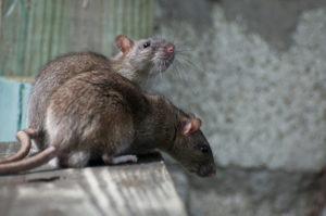Pest Control san antonio - Rats